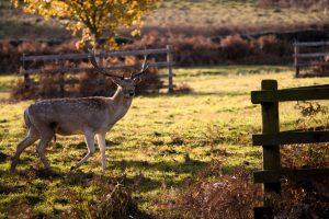 Bradgate Deer 2