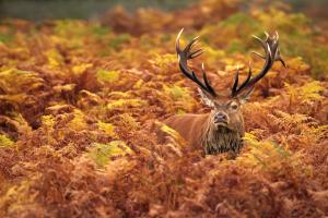 Bradgate deer 3